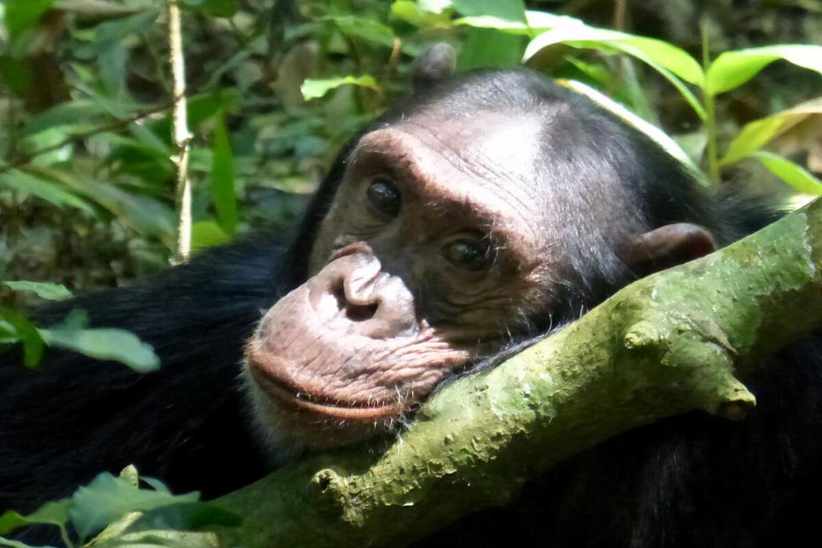 rwanda gorilla safaris, chimpanzee tracking in rwanda, gorilla safaris rwanda, primate safaris rwanda, rwanda wildlife safaris, gorilla trekking in rwanda, rwanda gorilla trekking, visit rwanda, gorillas in rwanda, gorilla safaris rwanda, uganda gorilla tours, gorillas in uganda, trekking gorillas in uganda, rwanda mountain gorillas