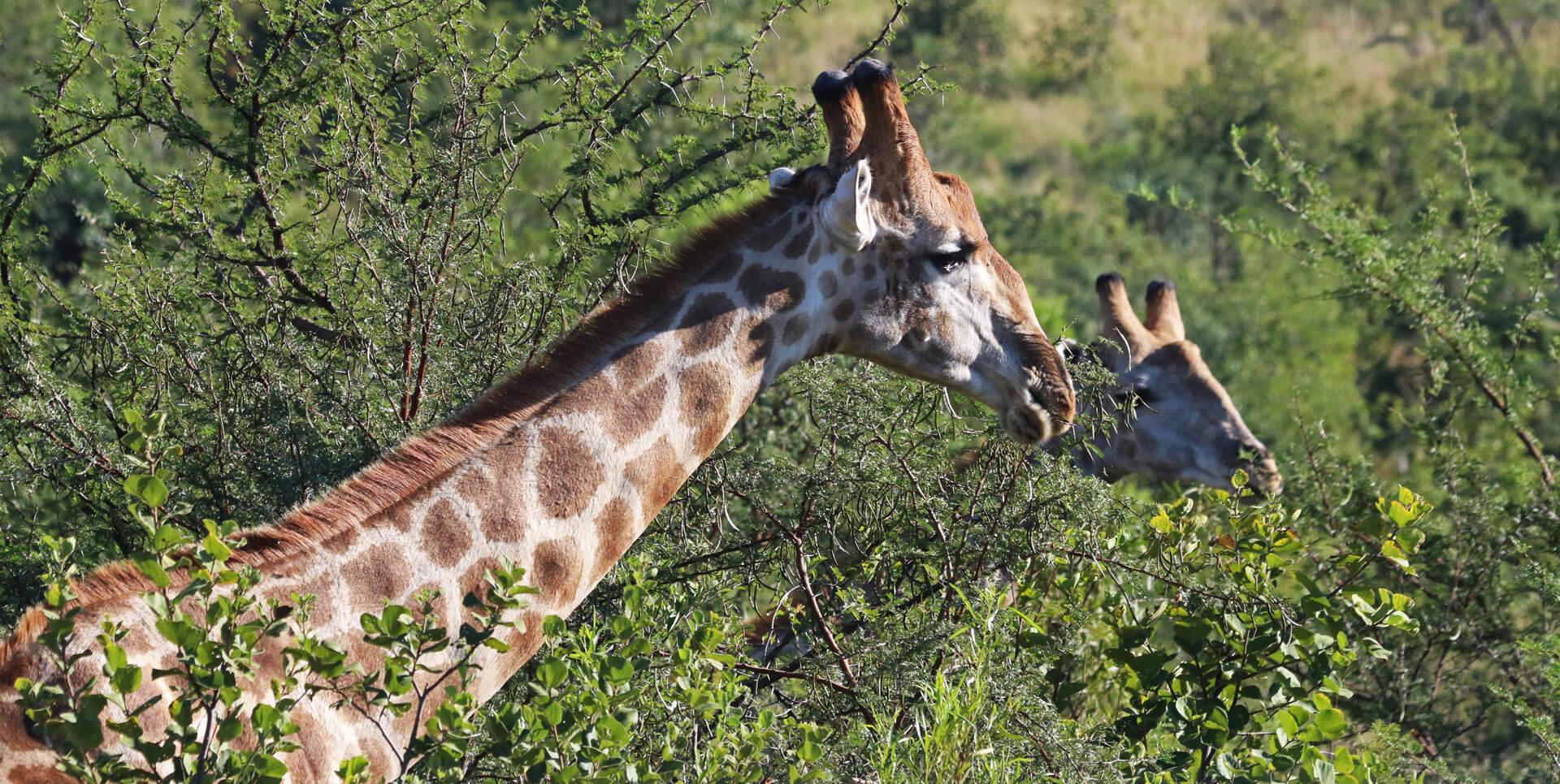 gorilla trekking rwanda, gorillas in rwanda, rwanda gorillas, wildlife safaris rwanda, uganda tours and safaris, uganda tour packages, rwanda chimpanzee tracking, chimp trekking in rwanda and uganda, visit rwanda, tour rwanda, travel rwanda, holidays in Rwanda, vacation in rwanda, safaris in rwanda, rwanda tours and travel, trip to rwanda, safari to rwanda, wildlife safaris in Rwanda, amazing rwanda, beautiful rwanda, rwanda gorilla trip, gorilla habituation experience, gorilla trekking tours, mountain gorillas, trekking safaris in rwanda, uganda trekking tours, gorilla adventure tours, gorilla trek africa, jungle african adventure