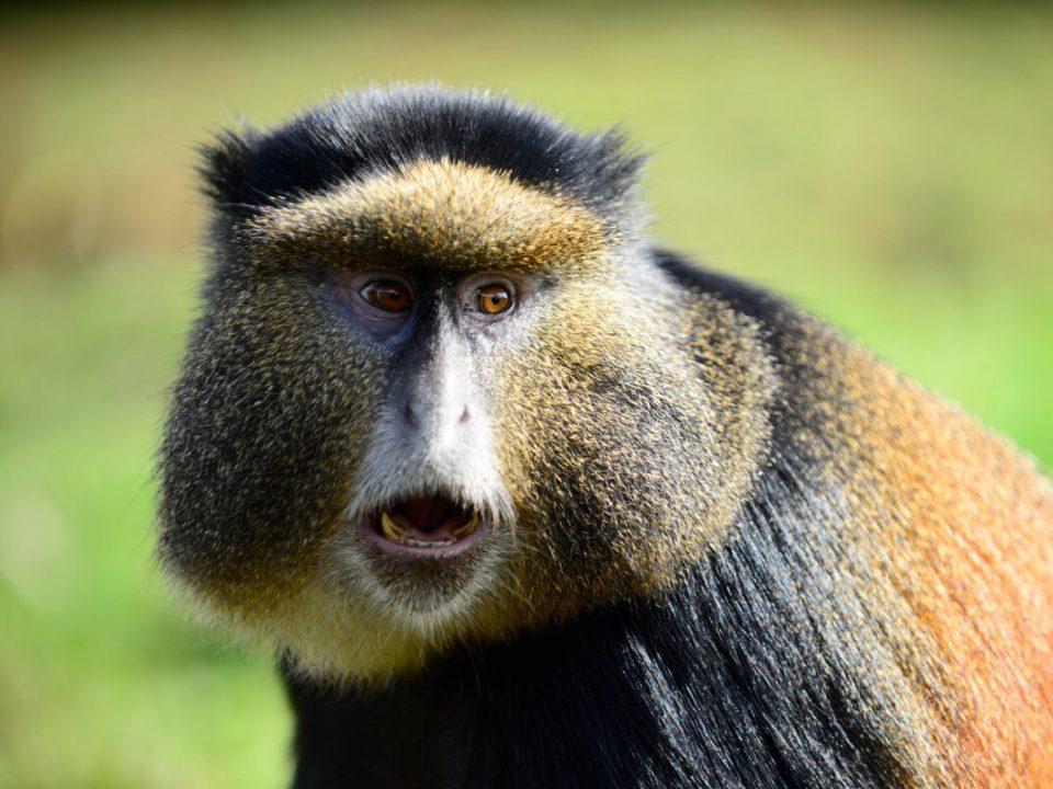 gorilla trekking in rwanda, rwanda gorilla trekking, visit rwanda, gorillas in rwanda, gorilla safaris rwanda, uganda gorilla tours, gorillas in uganda, trekking gorillas in uganda, rwanda mountain gorillas, gorilla trekking rwanda, gorillas in rwanda, rwanda gorillas, wildlife safaris rwanda, uganda tours and safaris, uganda tour packages, rwanda chimpanzee tracking, chimp trekking in rwanda and uganda, visit rwanda, tour rwanda, travel rwanda, holidays in Rwanda, vacation in rwanda, safaris in rwanda, rwanda tours and travel, trip to rwanda, safari to rwanda, wildlife safaris in Rwanda, amazing rwanda, beautiful rwanda, rwanda gorilla trip, gorilla habituation experience, gorilla trekking tours, mountain gorillas, trekking safaris in rwanda, uganda trekking tours, gorilla adventure tours, gorilla trek africa, jungle african adventure,