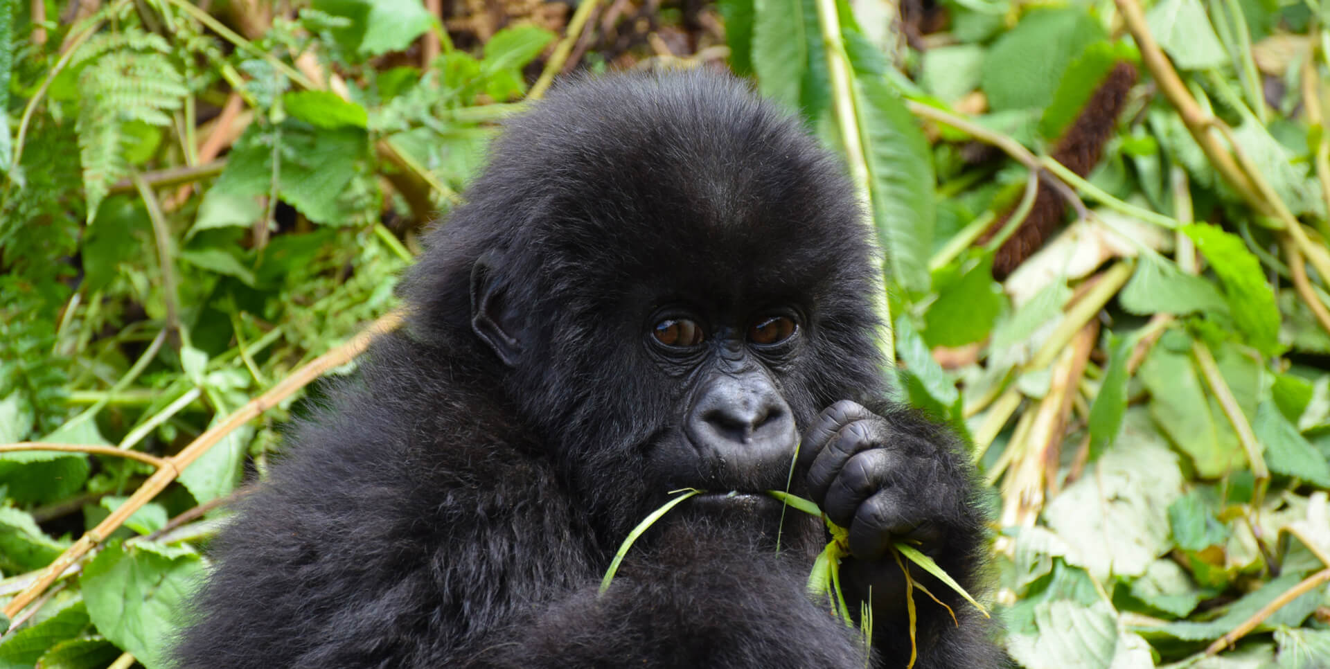 rwanda gorilla safari, gorilla safaris rwanda, rwanda gorilla trekking, gorilla trek rwanda, rwanda gorilla tours, visiting gorillas in rwanda, rwanda gorilla visit, visit rwanda