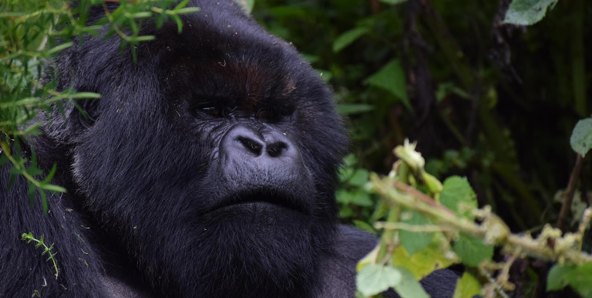 gorillas in rwanda, gorilla safaris rwanda, gorilla tours rwanda, rwanda gorillas, rwanda gorilla trekking, gorilla trekking rwanda