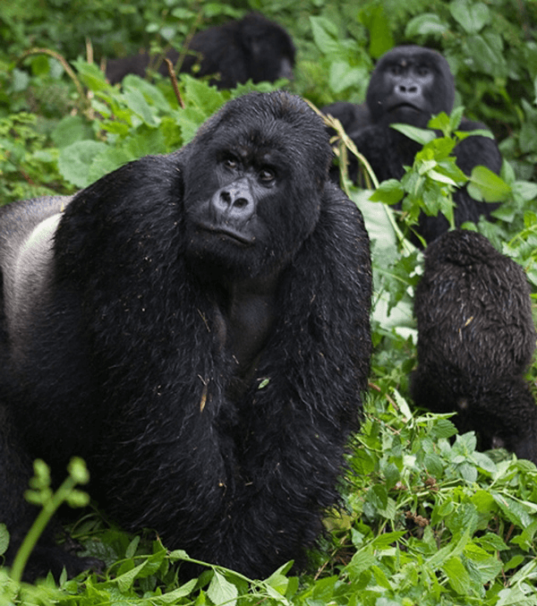Gorilla Safaris Rwanda, gorillas in rwanda, gorilla trekking rwanda, rwanda gorilla safaris, rwanda gorillas, gorilla tours