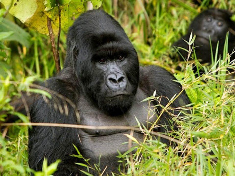 rwanda gorilla safaris, gorilla safaris rwanda, rwanda gorillas, gorillas in rwanda, gorilla tekking rwanda