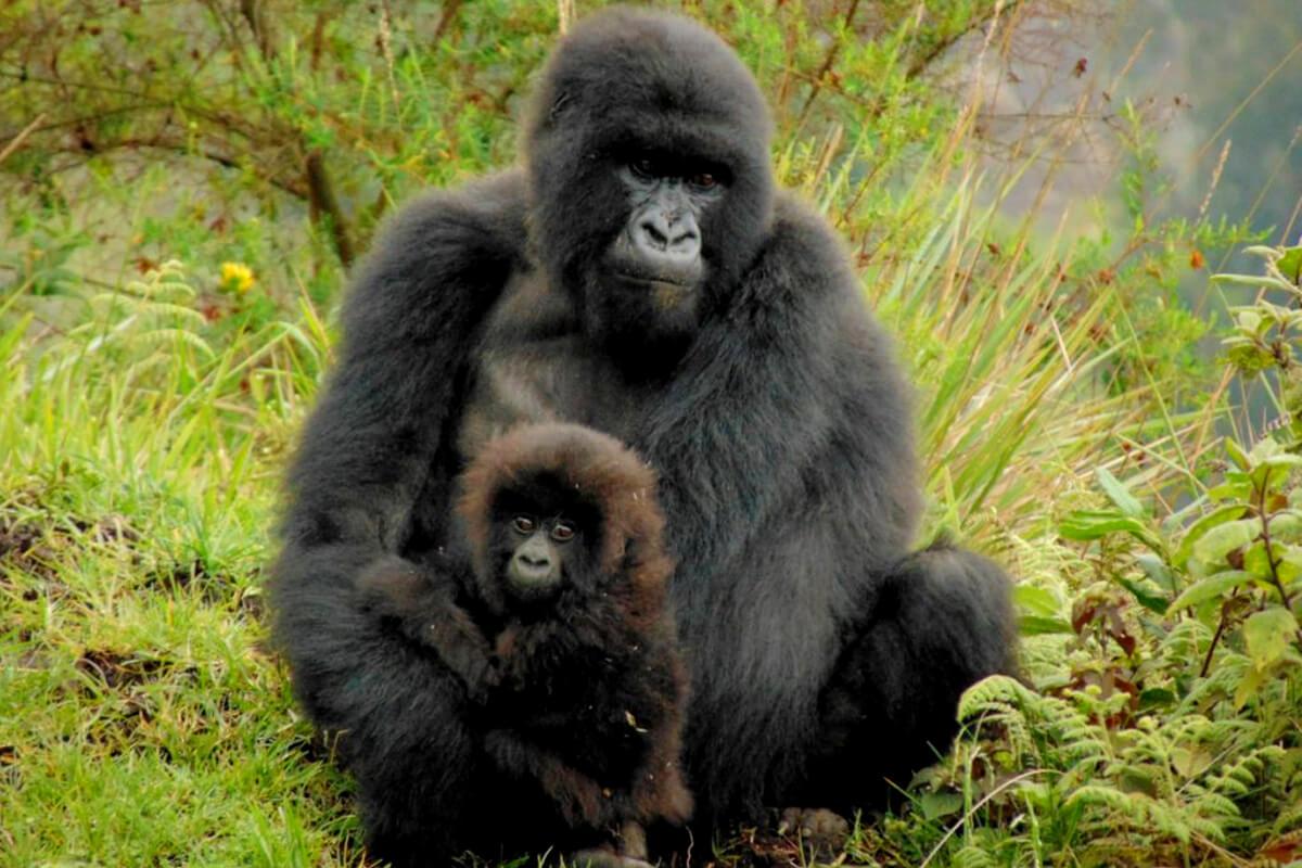 rwanda gorilla safaris, gorilla safaris rwanda, gorillas in rwanda, gorilla adventure, rwanda gorilla trekking, trekking tours rwanda, gorilla trekking in rwanda