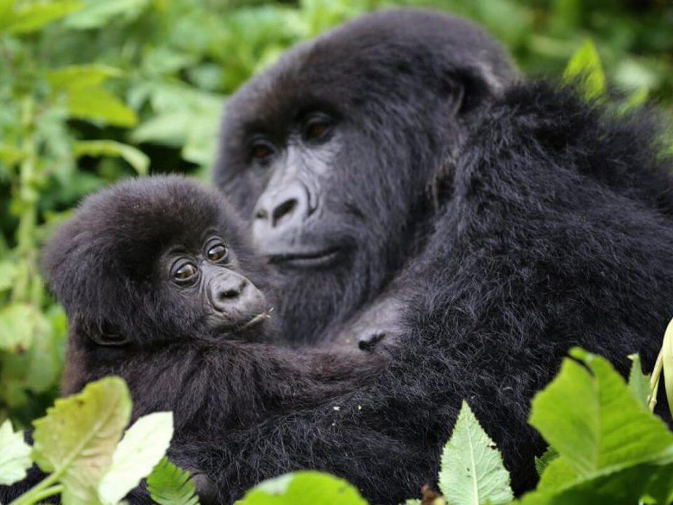 gorilla trekking in rwanda, rwanda gorilla trekking, visit rwanda, gorillas in rwanda, gorilla safaris rwanda, uganda gorilla tours, gorillas in uganda, trekking gorillas in uganda, rwanda mountain gorillas, gorilla trekking rwanda, gorillas in rwanda, rwanda gorillas, wildlife safaris rwanda, uganda tours and safaris, uganda tour packages, rwanda chimpanzee tracking, chimp trekking in rwanda and uganda, visit rwanda, tour rwanda, travel rwanda, holidays in Rwanda, vacation in rwanda, safaris in rwanda, rwanda tours and travel, trip to rwanda, safari to rwanda, wildlife safaris in Rwanda, amazing rwanda, beautiful rwanda, rwanda gorilla trip, gorilla habituation experience, gorilla trekking tours, mountain gorillas, trekking safaris in rwanda, uganda trekking tours, gorilla adventure tours, gorilla trek africa, jungle african adventure, gorilla trekking rwanda, gorillas in rwanda, rwanda gorillas, wildlife safaris rwanda, uganda tours and safaris, uganda tour packages, rwanda chimpanzee tracking, chimp trekking in rwanda and uganda, visit rwanda, tour rwanda, travel rwanda, holidays in Rwanda, vacation in rwanda, safaris in rwanda, rwanda tours and travel, trip to rwanda, safari to rwanda, wildlife safaris in Rwanda, amazing rwanda, beautiful rwanda, rwanda gorilla trip, gorilla habituation experience, gorilla trekking tours, mountain gorillas, trekking safaris in rwanda, uganda trekking tours, gorilla adventure tours, gorilla trek africa, jungle african adventure