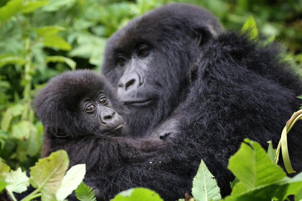 gorilla trekking in rwanda, rwanda gorilla trekking, visit rwanda, gorillas in rwanda, gorilla safaris rwanda, uganda gorilla tours, gorillas in uganda, trekking gorillas in uganda, rwanda mountain gorillas