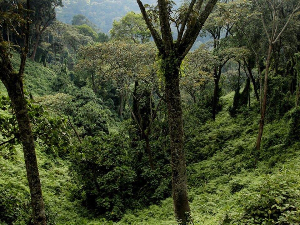 rwanda gorillas, gorillas in rwanda, primates in nyungwe, nyungwe national park, primate safaris, tracking safaris in nyungwe, nyungwe safaris and tours