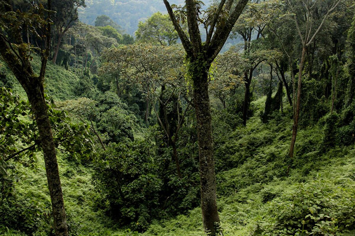 rwanda gorillas, gorillas in rwanda, primates in nyungwe, nyungwe national park, primate safaris, tracking safaris in nyungwe, nyungwe safaris and tours