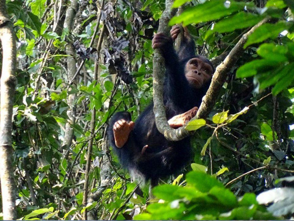 gorilla safaris rwanda, chimpanzee tracking in rwanda
