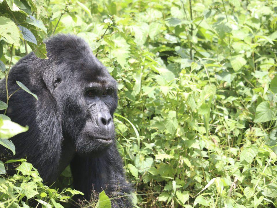 rwanda gorilla safaris, rwanda gorillas, uganda gorillas, gorilla safaris rwanda, gorilla tours rwanda, gorillas in rwanda, gorilla trekking rwanda, rwanda gorilla trekking safaris, uganda gorilla trekking, gorilla safaris uganda, gorillas in uganda, gorilla tours and safaris, rwanda gorilla safaris